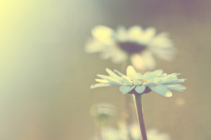 Nature spring. Soft meadow chamomile in field