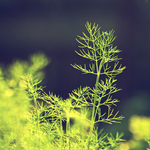 Nature spring. Vintage plant dill