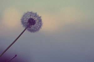 Nature. Vintage outdoor photo of dandelion on blue sky background