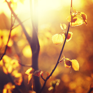 Nature vintage sunny outdoor background. Many little yellow leaves on tree in autumn forest