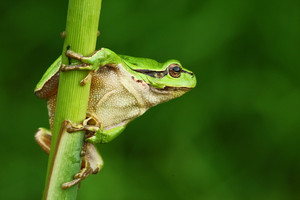 Nice green amphibian European tree frog, Hyla arborea, sitting on grass with clear green background
