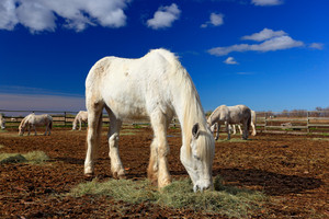 Nice white horse feed on hay with three horses in background, dark blue sky with clouds, Camargue, France. Summer day in horse fold. Travelling in France, Holiday in Europe. Big animal in grazing.