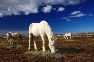 Nice white horse feed on hay with three horses in background, dark blue sky with clouds, Camargue, France