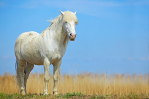 Nice white horse on the meadow. Horse with dark blue sky, Camargue, France. Beautiful white animal in the nature habitat. Wild horse in the nature.