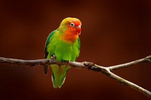 Nyasa Lovebird or Lilian's lovebird, Agapornis lilianae, green exotic bird sitting on the tree, Namibia, Africa. Beautiful parrot in the nature habitat. Brown clear background. Bird in wild nature.