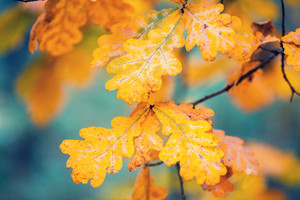 Oak branch with yellow leaves in the forest in autumn