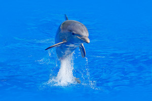 Ocean wave with animal. Bottlenosed dolphin, Tursiops truncatus, in the blue water. Wildlife action scene from ocean nature. Dolphin jump in the sea. Funny animal image in ocean. Marine life.