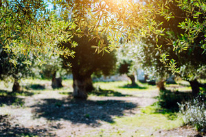 Olive trees garden at the warm sunset light. Mediterranean olive field