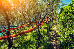 Olive trees in sunny day on hillside, Italy