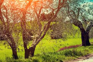 Olive trees in sunny day, Tuscany, Italy