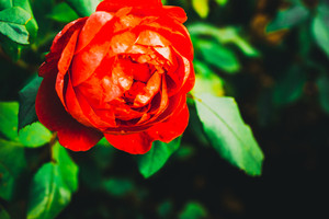 One beautiful red rose with defocused green foliage
