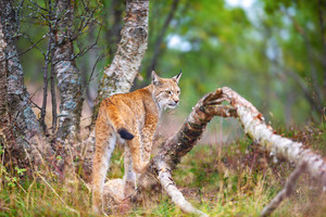 One eurasian lynx walking in forest at summer