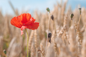 One red poppy flower in a golden ripe wheat field. Blue sky in background