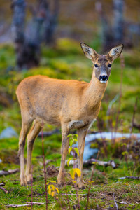 One roe deer in the forest at fall