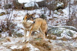 One scared wolf in the forest in early winter