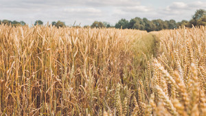 Open field with dry golden wheat spikes on sunny day ready for harvest before autumn