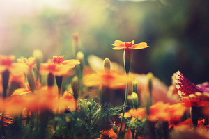 Orange beautiful flowers. Nature