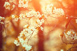 Orange vintage blossom cherry-tree at sunrise. Spring natural background