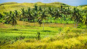 Palm Oasis in Wisata Bukit Teletubbies Hill, Nusa Penida Island, Bali, Indonesia