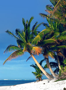 Palm Tree in Rarotonga, Cook Islands