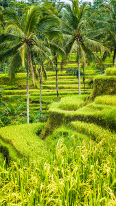 Palm Trees in Amazing Tegalalang Rice Terrace fields, Ubud, Bali, Indonesia