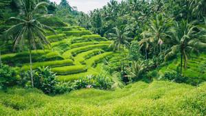 テガラランの椰子の木ライステラス、ウブド、バリ、インドネシア