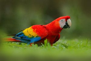 Parrot in grass. Wildlife in Costa Rica. Parrot Scarlet Macaw, Ara macao, in green tropical forest, Costa Rica, Wildlife scene from tropic nature. Red Macaw from Central America.