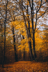 Pathway between hight trees with golden leaves in the autumn forest