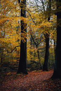Pathway between yellow trees in the autumn forest