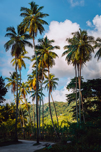 Picturesque road among vanilla plantation with coconut trees, La Digue, Seychelles. Warm sunset light