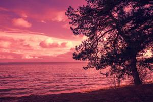Pine tree near sea at purple sunset