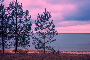 Pine trees near sea
