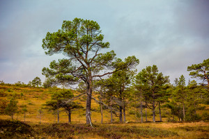 Pine trees on the slope of the hill. Beautiful nature of Scandinavia