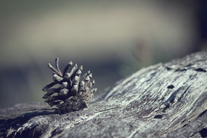 pinecone vintage. Nature forest