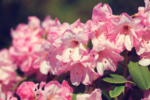 Pink Azalea flowers in a park
