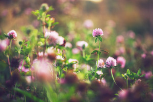 pink clover wild meadow flowers in field. Nature vintage autumn outdoor photo
