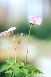 pink soft flowers in garden flowerbed. Nature vintage photo
