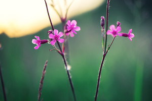 pink soft meadow flowers in green field. Fresh autumn morning. Vintage nature background