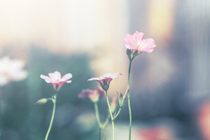 pink vintage soft flowers