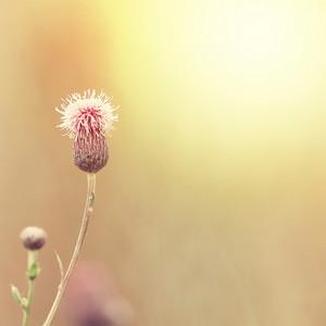 pink wild flower on background of dawn