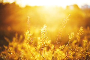 plants in field en eveing fresh orange yellow sunset. Nature outdoor sunny photo with varm colors and calm atmosphere