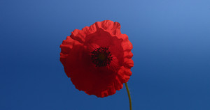 poppy flower moved by window in deep blue sky background