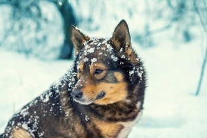 Portrait of a beautiful dog in winter snowfall