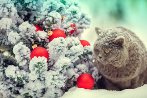 Portrait of a Blue british shorthair cat outdoors in winter near Christmas fir tree.
