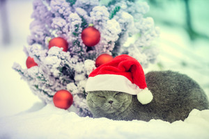 Portrait of a Blue british shorthair cat wearing santa hat outdoors in winter near Christmas fir tree.