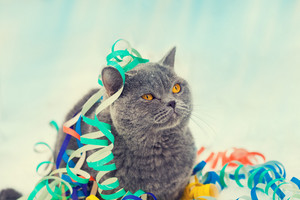 Portrait of a Blue british shorthaired cat entangled in colorful Christmas tinsel
