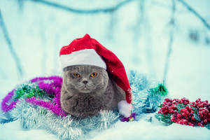 Portrait of a Blue british shorthaired cat wearing santa hat entangled in colorful Christmas tinsel. Cat walking in the snow outdoor