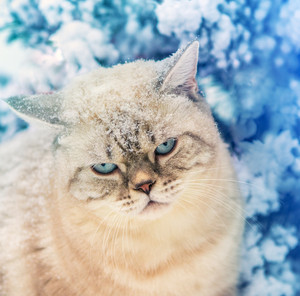 Portrait of a cat sitting in snow near fir tree in a forest. Head covered with snow
