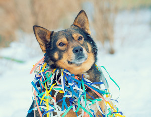Portrait of a dog entangled in colorful serpentine. Dog walking in the snow outdoor