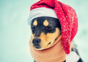 Portrait of a dog wearing Santa hat and scarf outdoor in snow